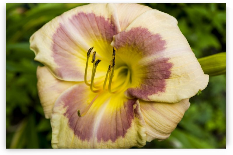 Multicoloured day lily 2 by Bob Corson