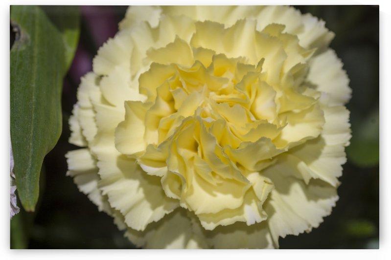 Yellow Carnation by Bob Corson