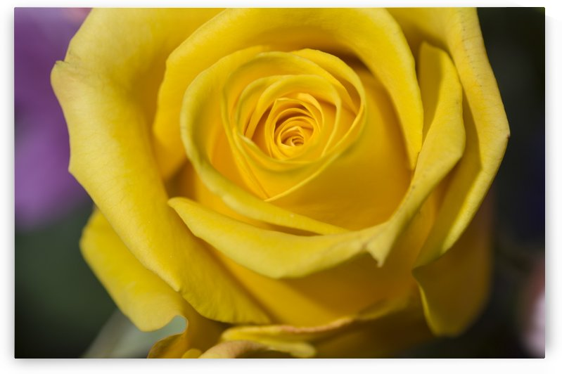 Yellow Rose by Bob Corson