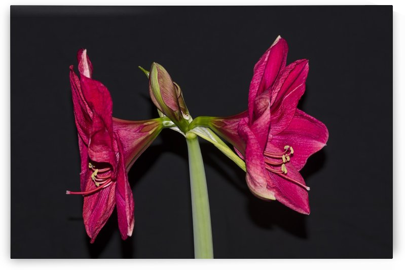 Red Amaryllis Flowers 1 by Bob Corson