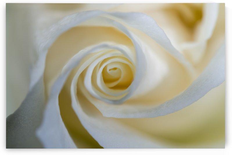 White Rose 4 by Bob Corson