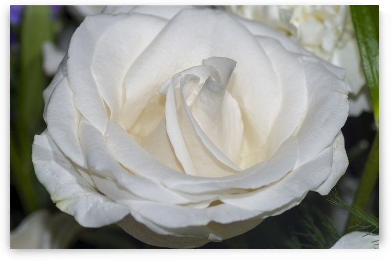 White Rose 2 by Bob Corson