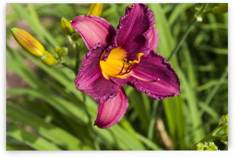 Purple Stella Doro Day Lily Flowers 1 by Bob Corson