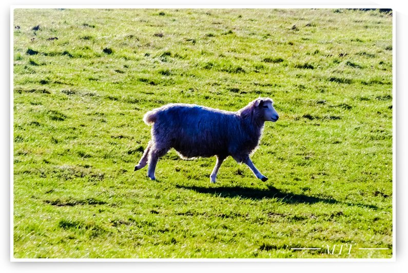 The Blue Sheep by MTT