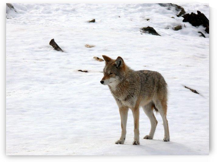 Eastern Wolf by Bob Corson
