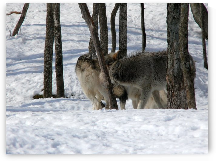 Eastern Wolves by Bob Corson