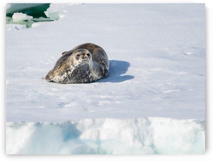 Weddell Seal 4 by Peter Kaple