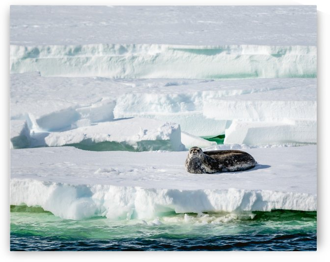 Weddell Seal Watches by Peter Kaple