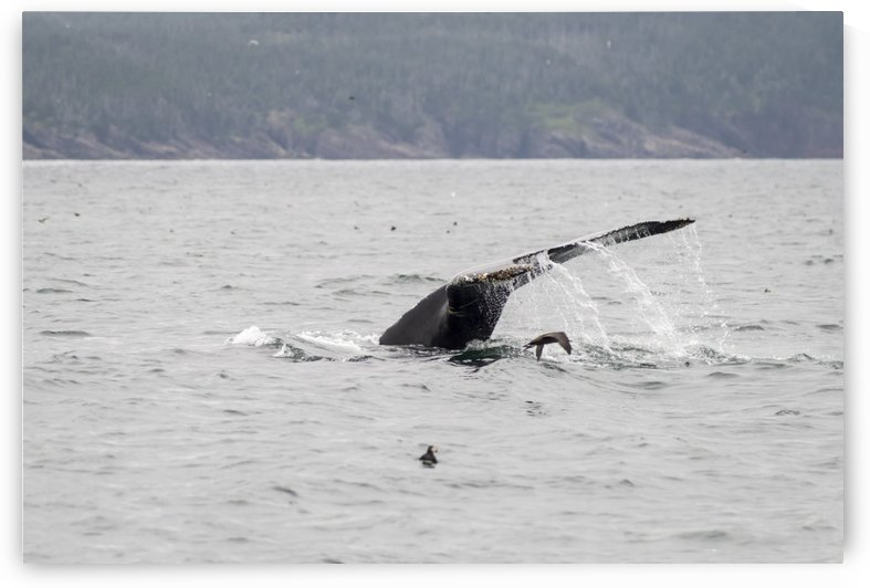 Humback whale a puffin and a murre 4 by Bob Corson