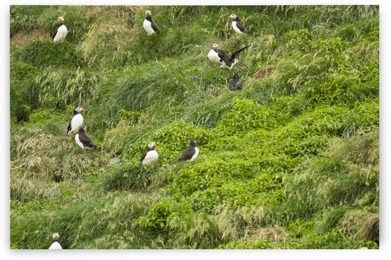 Atlantic Puffins 11 by Bob Corson