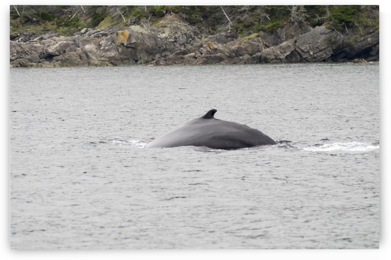 Humback whales 4 by Bob Corson