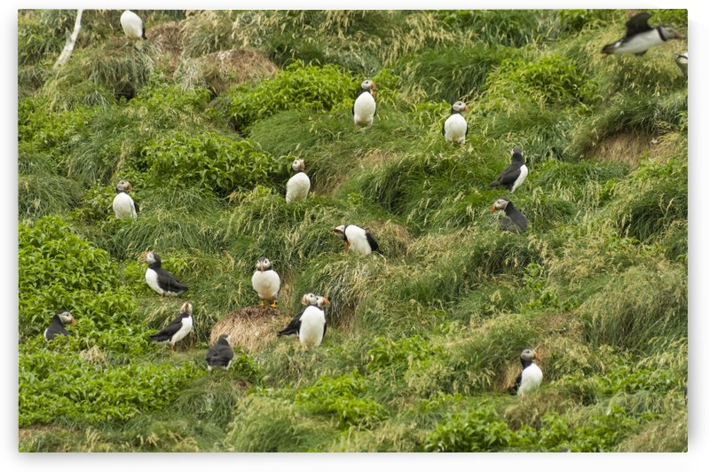 Atlantic Puffins 5 by Bob Corson