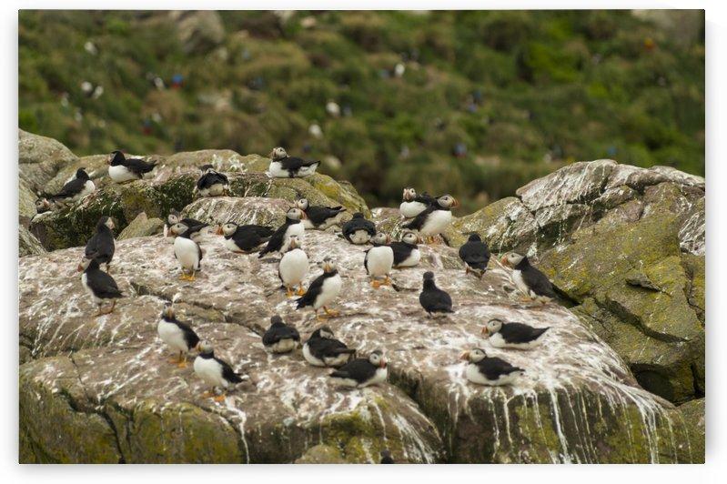 Atlantic Puffins 4 by Bob Corson