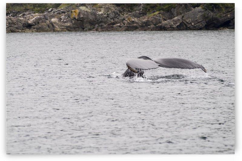 Humback whale  by Bob Corson