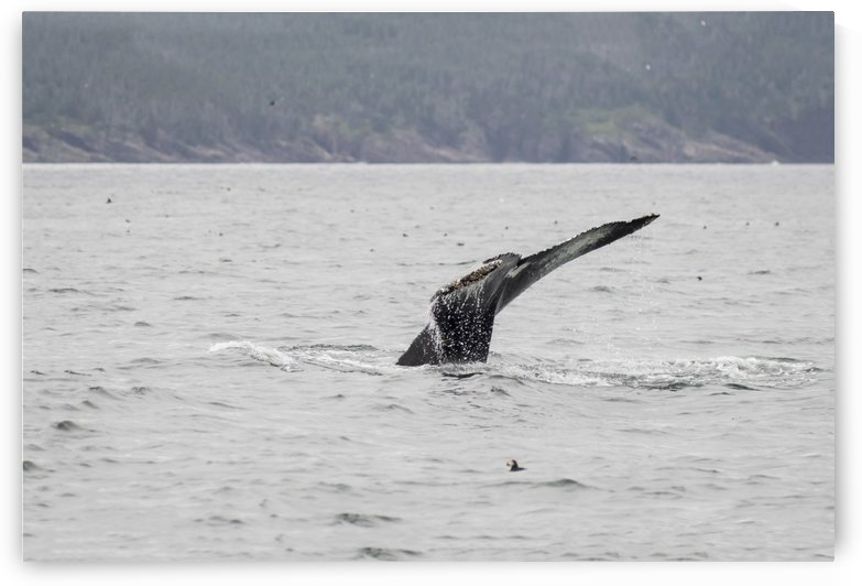Humpback whale and a puffin 2 by Bob Corson