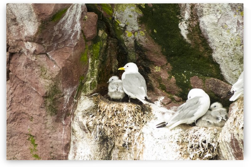 Sea gulls and their young by Bob Corson