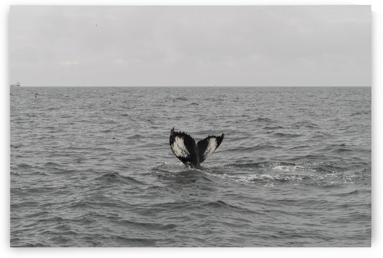 Tail fins of a diving humpback by Bob Corson
