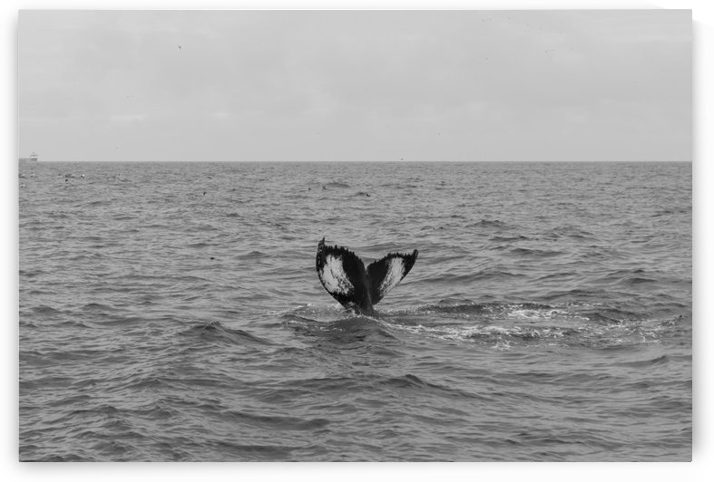 Tail fins of a diving humpback in black and white by Bob Corson