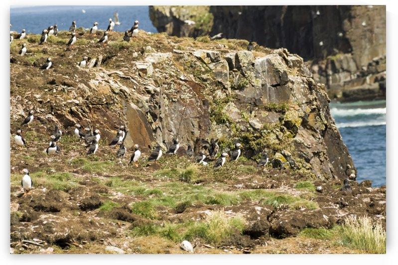 Puffins being puffins 5 by Bob Corson