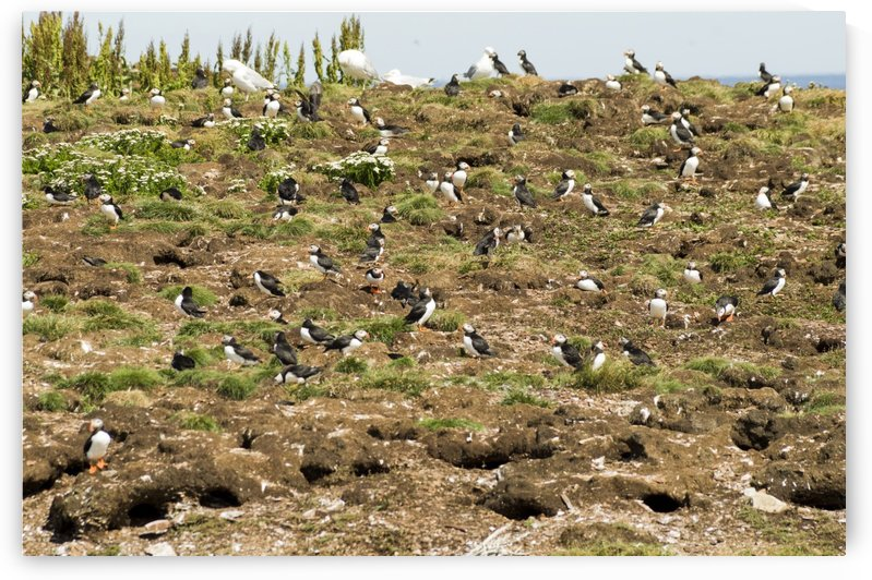 Puffins being puffins by Bob Corson