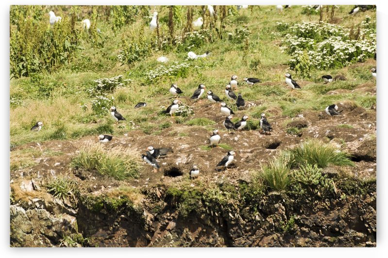 Puffins being puffins 11 by Bob Corson
