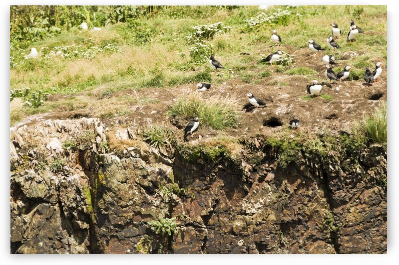 Puffins being puffins 12 by Bob Corson