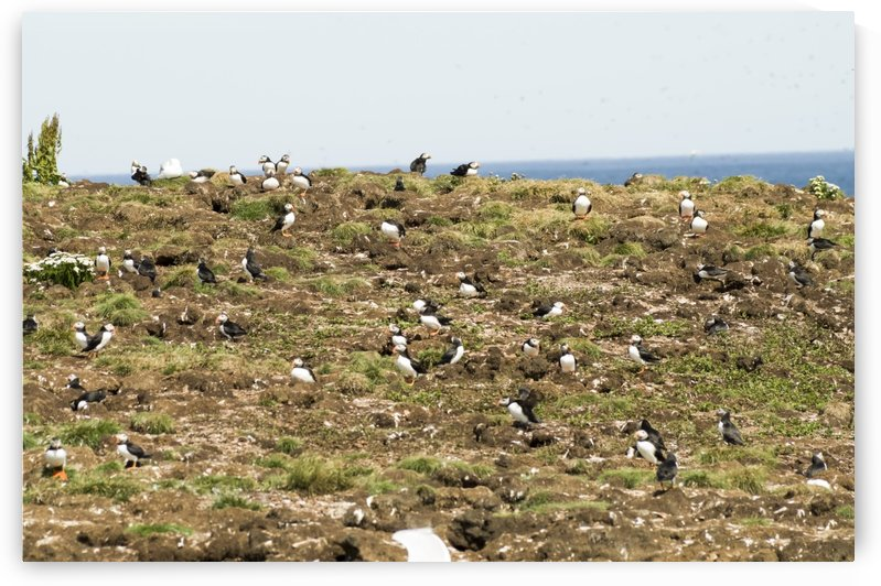 Puffins being puffins 13 by Bob Corson