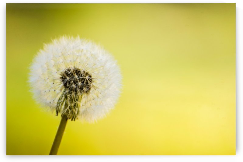 Dandelion by Juvelyn Green