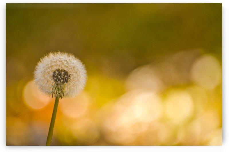 Dandelion by Juvelyn Green