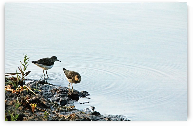 Sandpipers by Deb Oppermann