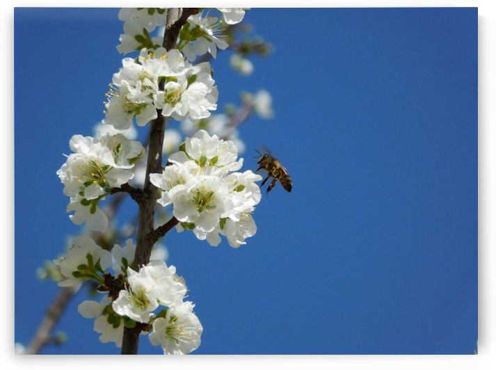 bee and flowers and blue sky by Adil BASSEL