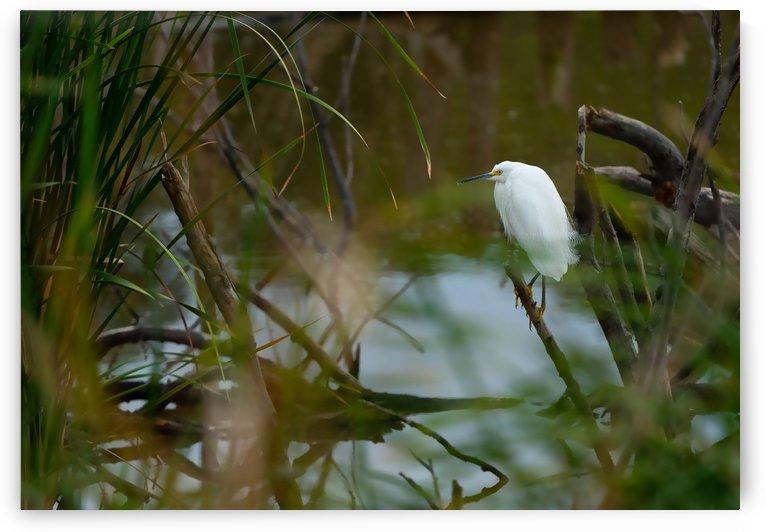 Snowy Egret by Peter Kaple