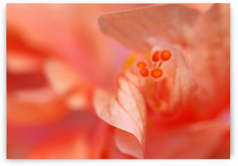 Peach Hibiscus by Deb Oppermann