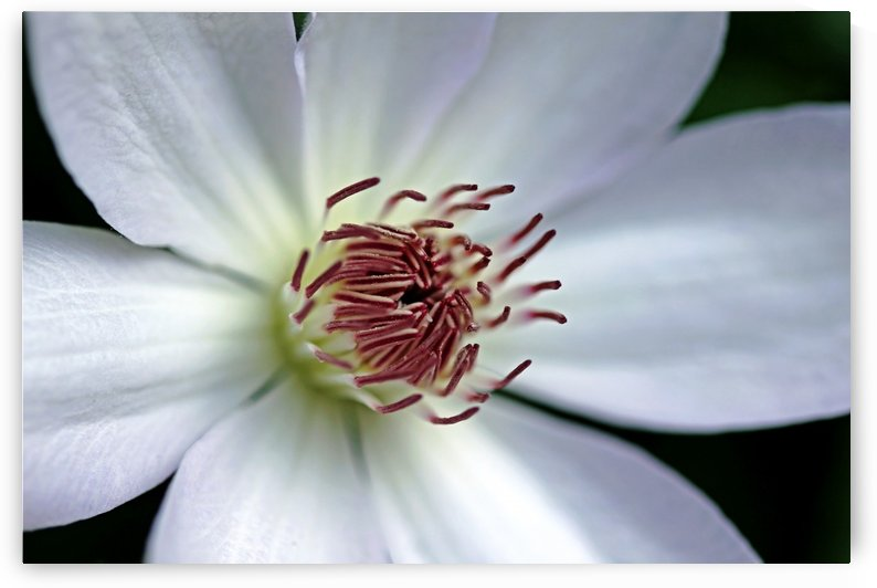 Clematis In White by Deb Oppermann