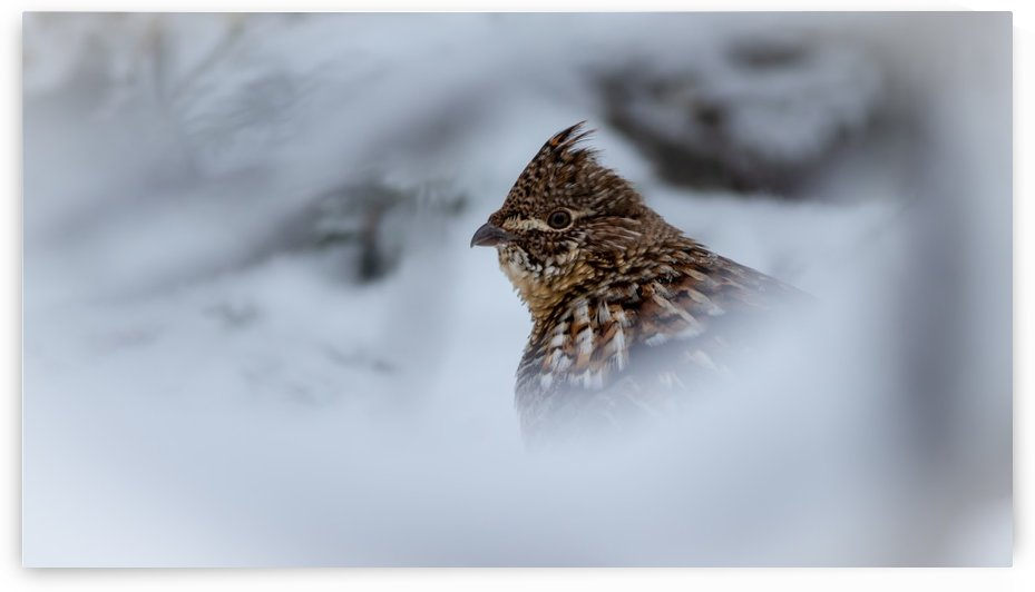 Winter Ruffed Grouse by Jimmie Pedersen