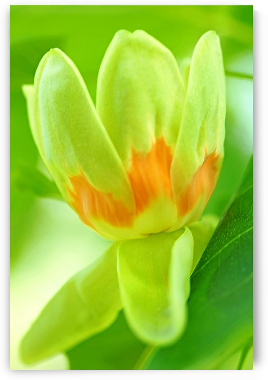 Tulip Poplar Flower by Deb Oppermann