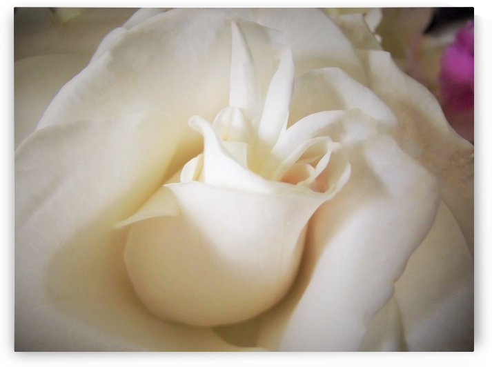 Soft Rosebud by Linda Peglau
