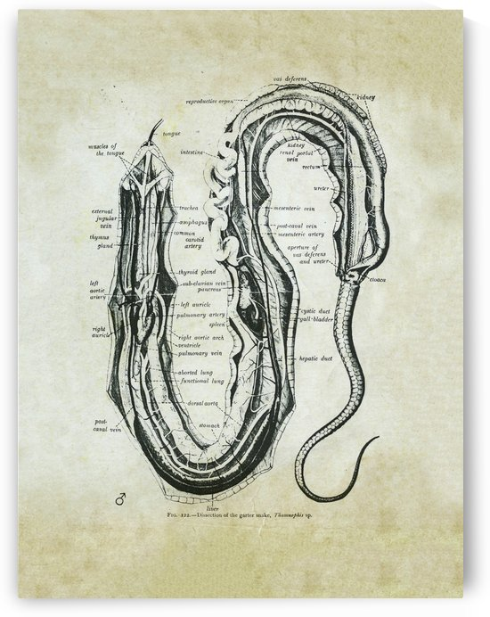 Garter Snake Dissection by JP Denk