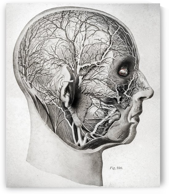 Nerves and Blood Vessels of the Head by JP Denk