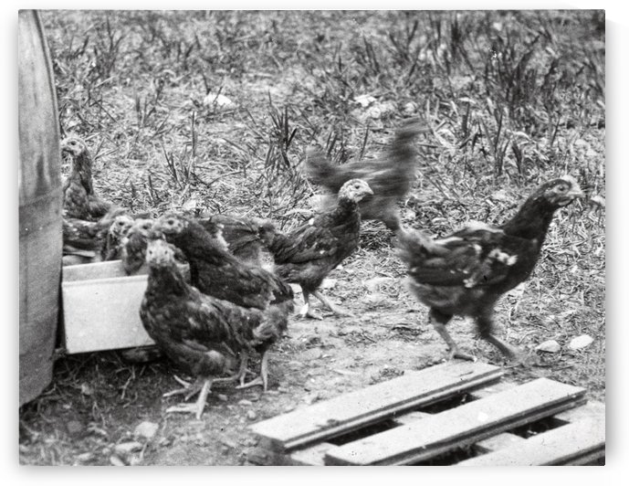 Poultry by JP Denk