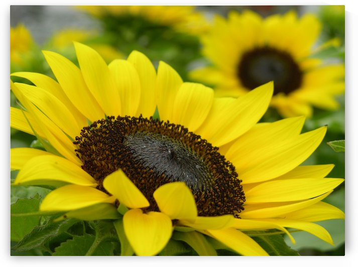 Sun Flowers Photograph by Katherine Lindsey Photography