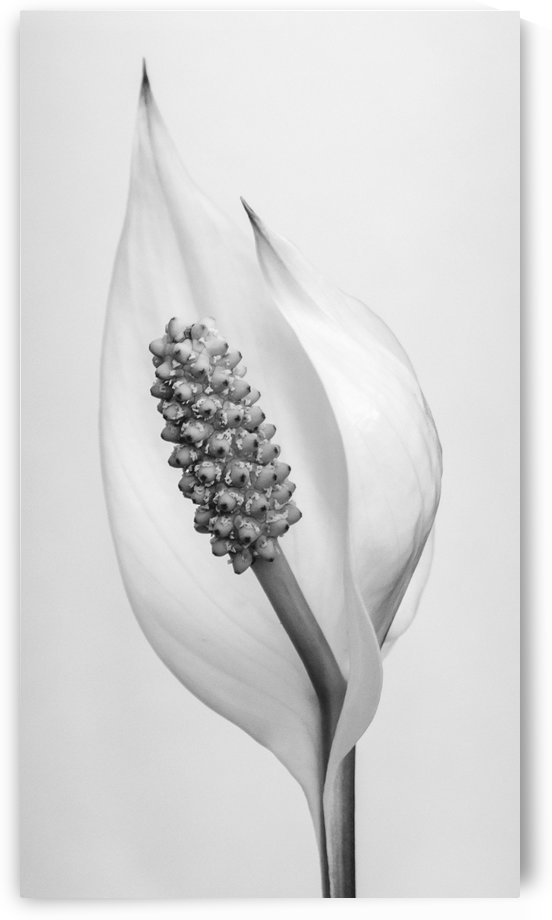 Peace lily by Violet Carroll