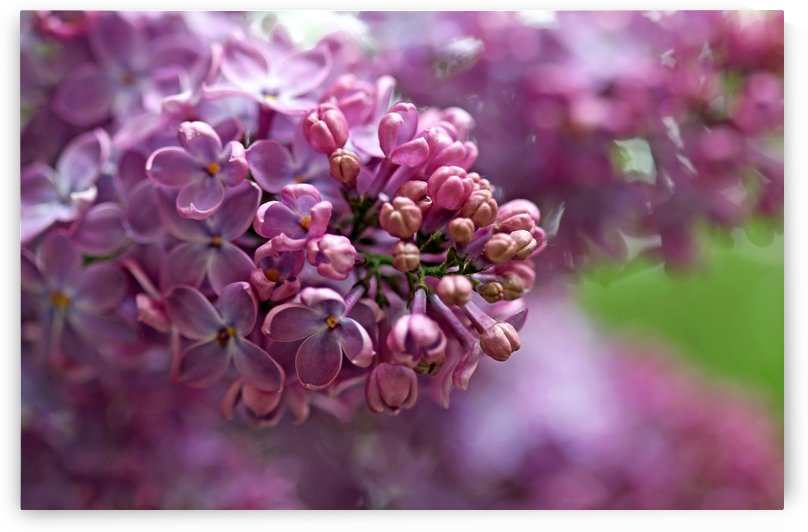 Loving Lilacs by Deb Oppermann