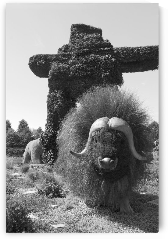 Northwest Territories entry: The Muskoxen b&w by Bob Corson