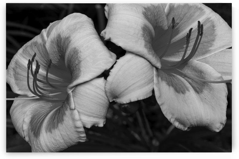 Multicoloured day lily 3 bw by Bob Corson