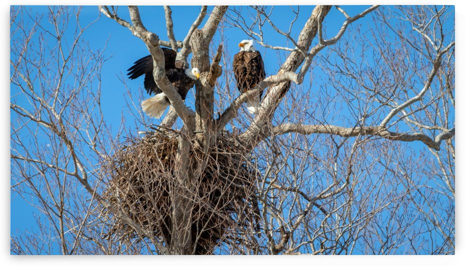 Bald Eagles cleaning up old nest. by Jimmie Pedersen