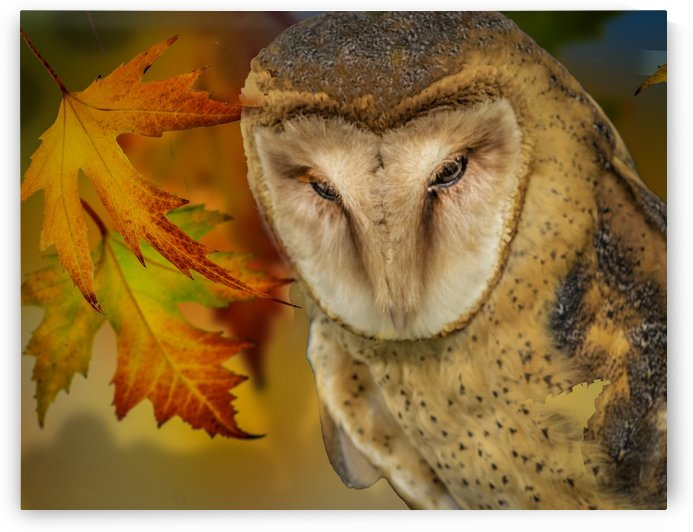 Barn Owl by Michael Snell