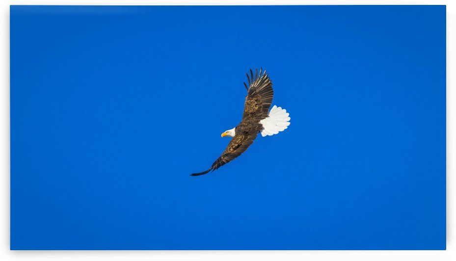 Soaring Bald Eagle by Jimmie Pedersen