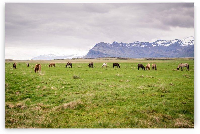 Icelandic horses by Roman Buchhofer