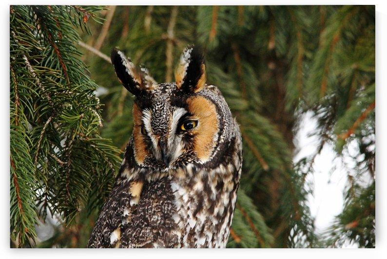 Vigilant Long Eared Owl by Deb Oppermann